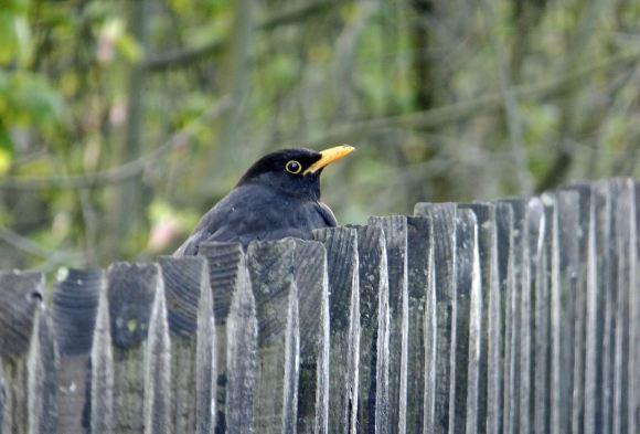 Blackbird and fence, 28/4/15