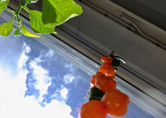 Chilli harvest, 29/4/15
