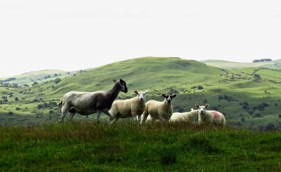 Sheep group, 9/7/15