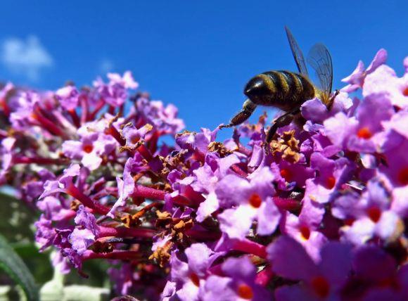 Bee and buddleia, 12/8/15