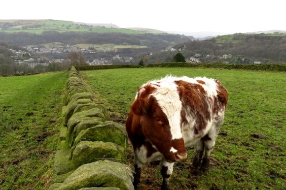 Cow above Hebden, 1/1/16