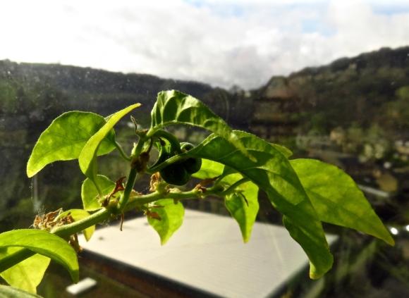 New chilli, 9/2/16