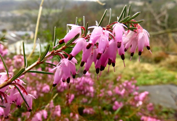 Winter flowering heather, 8/3/16
