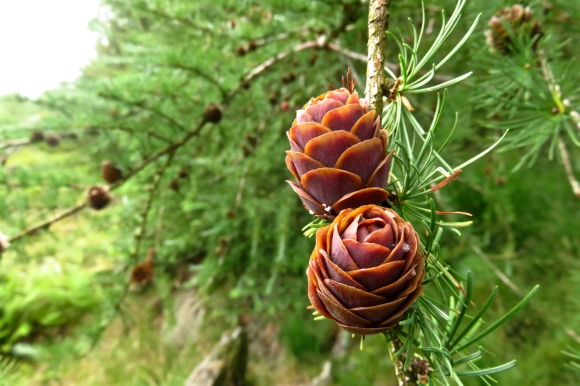 Young pine cones, 23/7/16