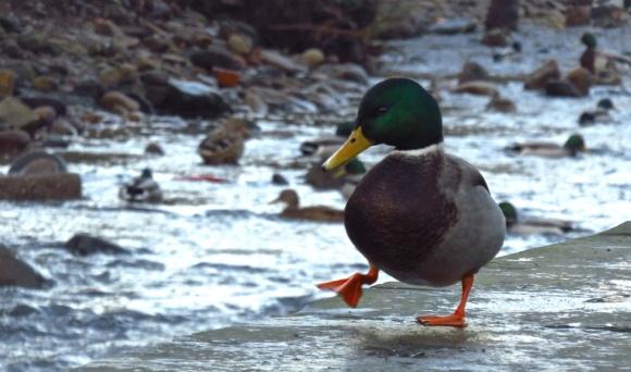 Duck walk, 28/12/16