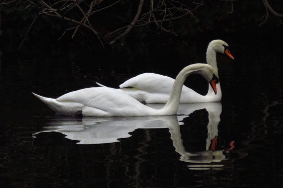 Two swans, 12/12/16