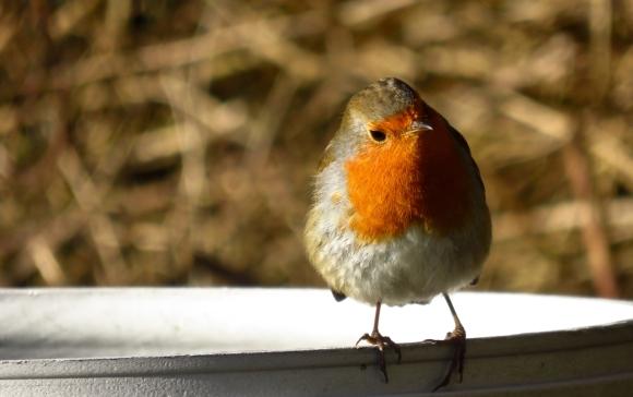 Robin, 4/1/17