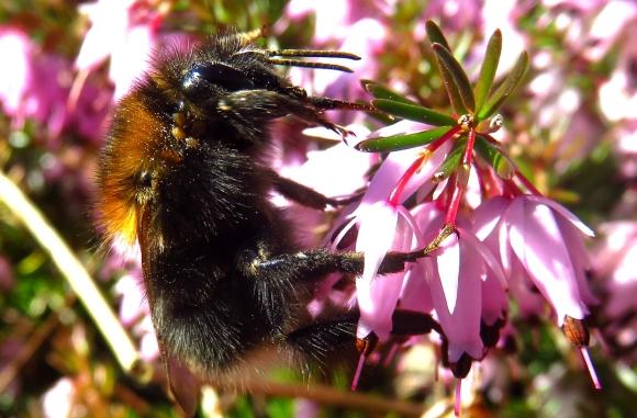 Bumblebee, 4/3/17