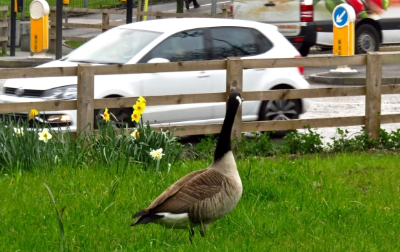 Lost goose, 30/3/17