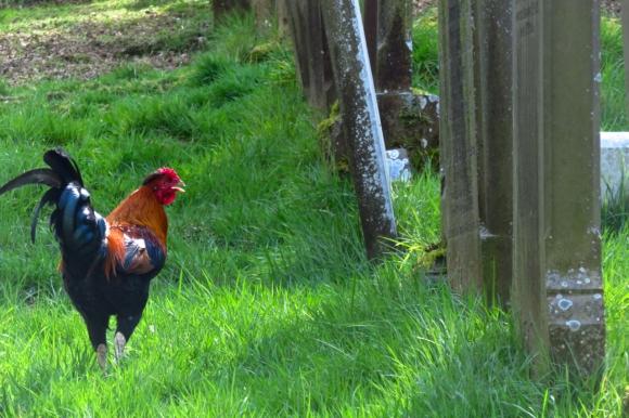 Cemetery chicken, 18/4/17