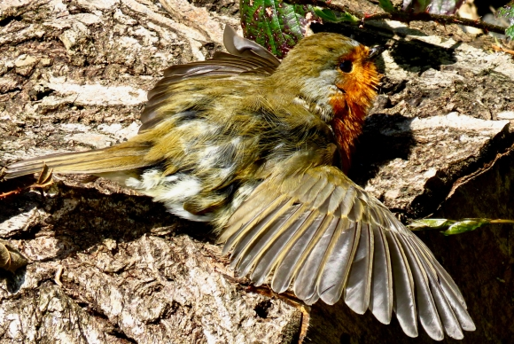 Sunbathing robin, 8/4/17