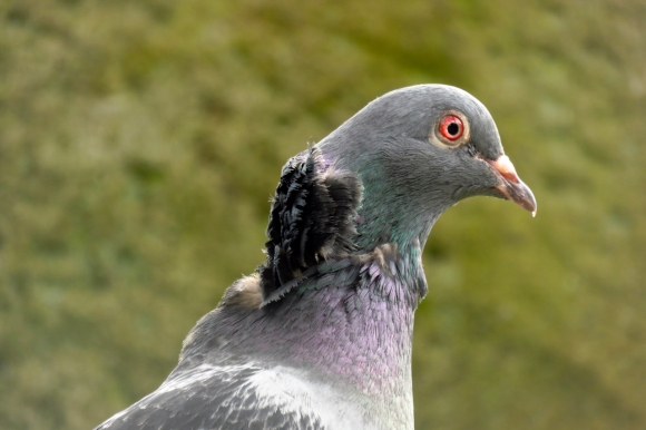 Wounded pigeon, 11/4/17