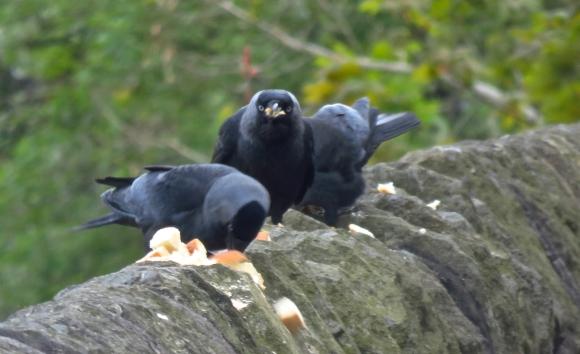 Crows feeding, 11/5/17
