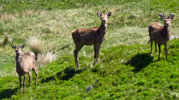 Deer on Tarn Crag, 26/5/17