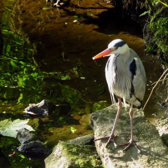 Humph the heron, 8/5/17