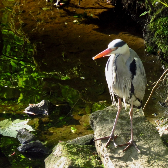 Humph the heron, 8/5/17