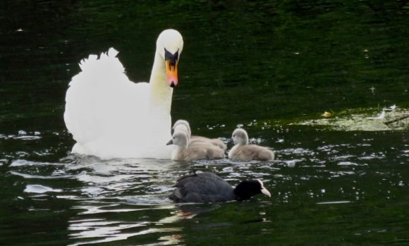 Swan and cygnets, 15/5/17