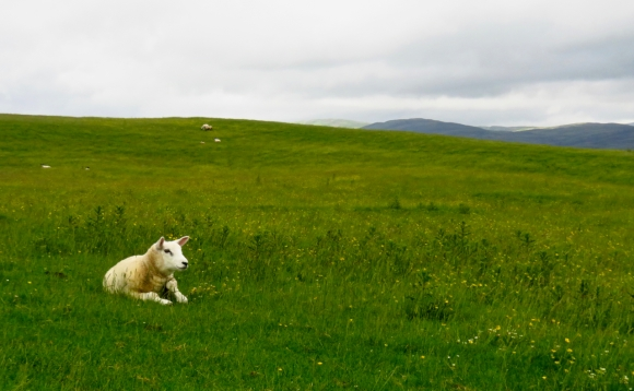 Contented sheep, 24/6/17