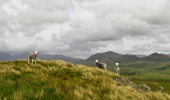 Sheep on Rough Crag, 28/7/17
