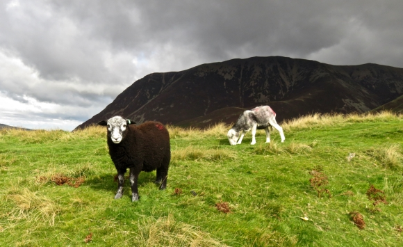 Sheep on Rannerdale Knotts, 15/9/17