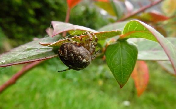 Garden spider, 14/10/17