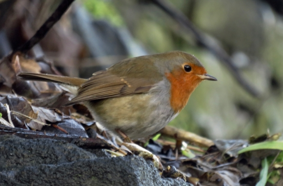 Robin at station, 18/1/18