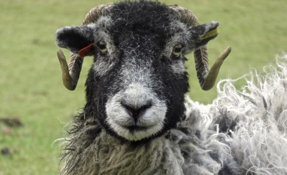 Sheep pic, 24/1/18