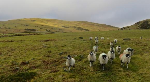 Burney and sheep, 17/2/18