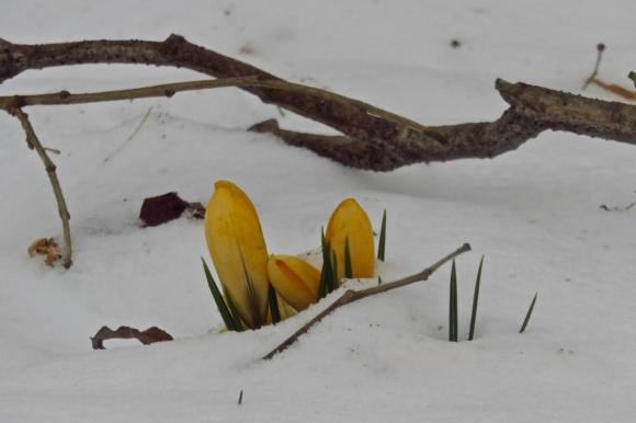 Snowy crocuses, 3/3/18