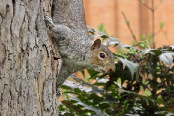 Tavistock squirrel, 22/3/18