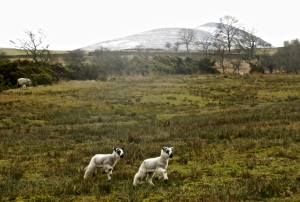 Lambs and Skiddaw, 6/4/18