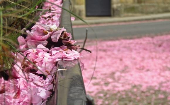Fallen blossoms, 11/5/18