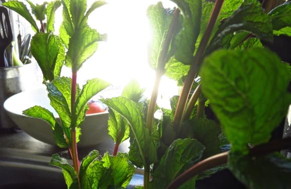 Garden mint, 22/5/18