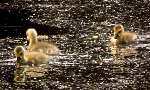 Goslings, 26/5/18