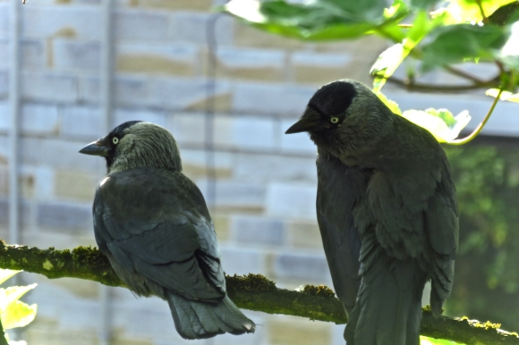 Two jackdaws, 7/6/18