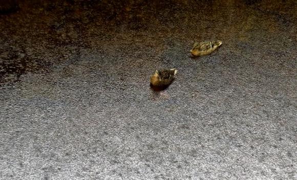 Ducks in rain, 24/7/18