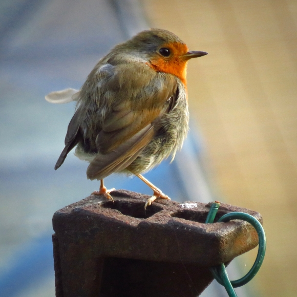 Robin, 19/7/18