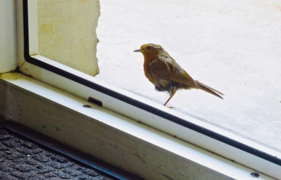Robin on doorstep, 8/7/18