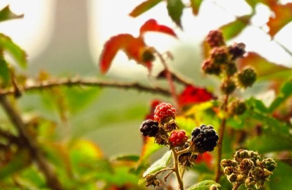 Blackberries, 9/8/18
