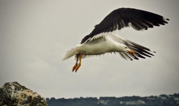Seagull in flight, 11/8/18