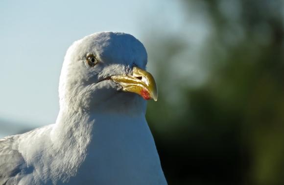 Seagull portrait, 15/8/18