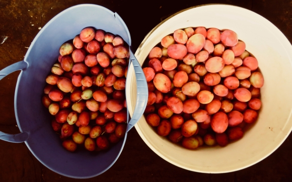 Buckets of plums, 10/9/18