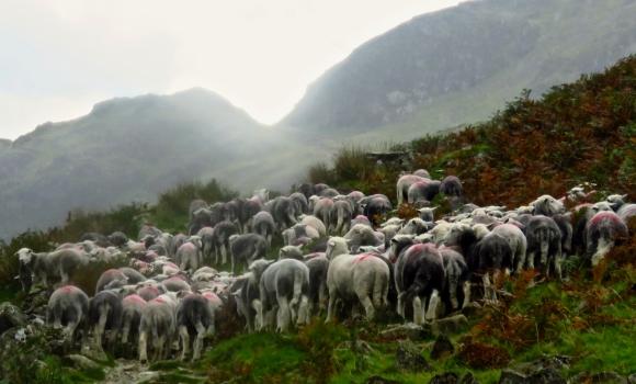 Sheep, Scarth Gap, 6/9/18