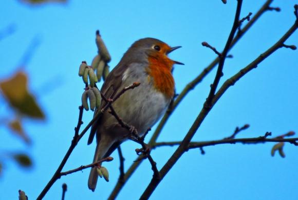 Happy robin, 31/10/18