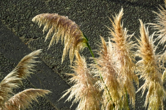 Pampas grass, 19/11/18