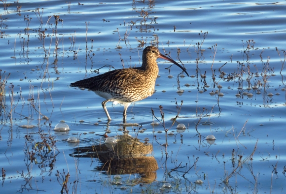 Curlew, 24/12/18