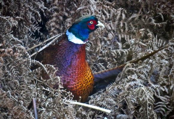 Pheasant in bracken, 13/12/18