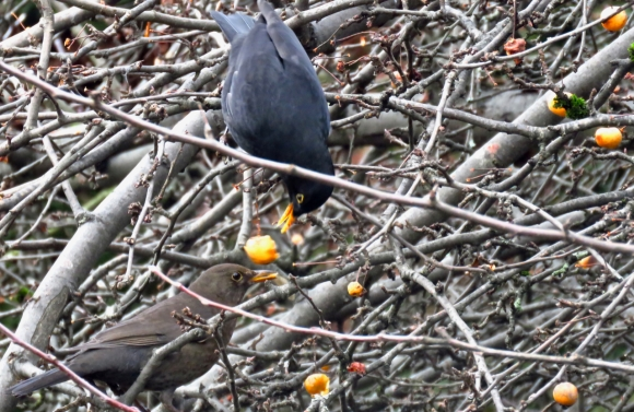 Blackbirds foraging, 21/1/19