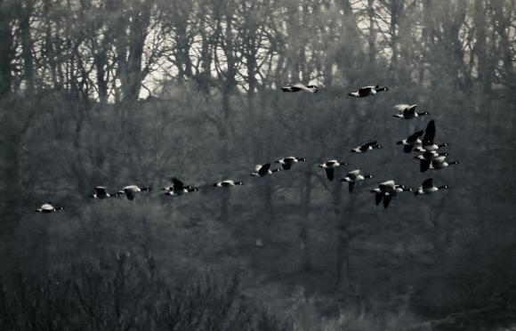 Flock of geese, 20/1/19
