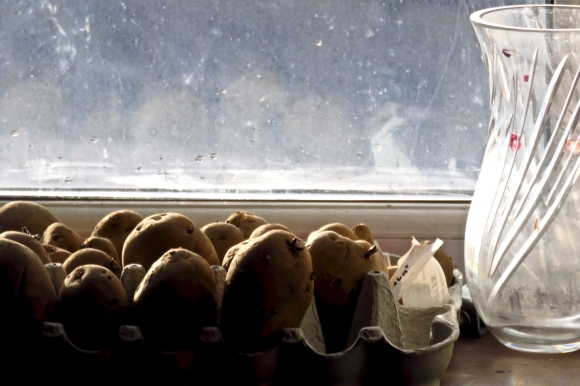 Baby potatoes, 9/2/19